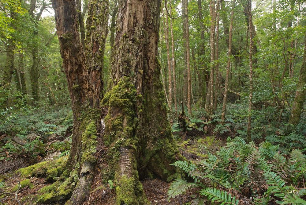 mossy tree 1729.jpg