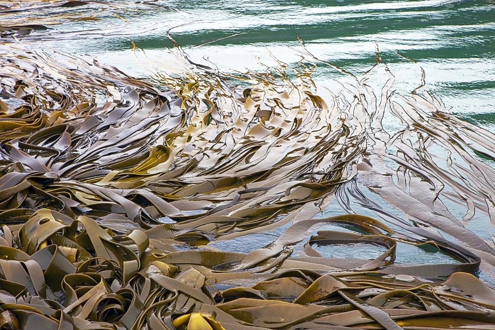 kelp 0450.jpg