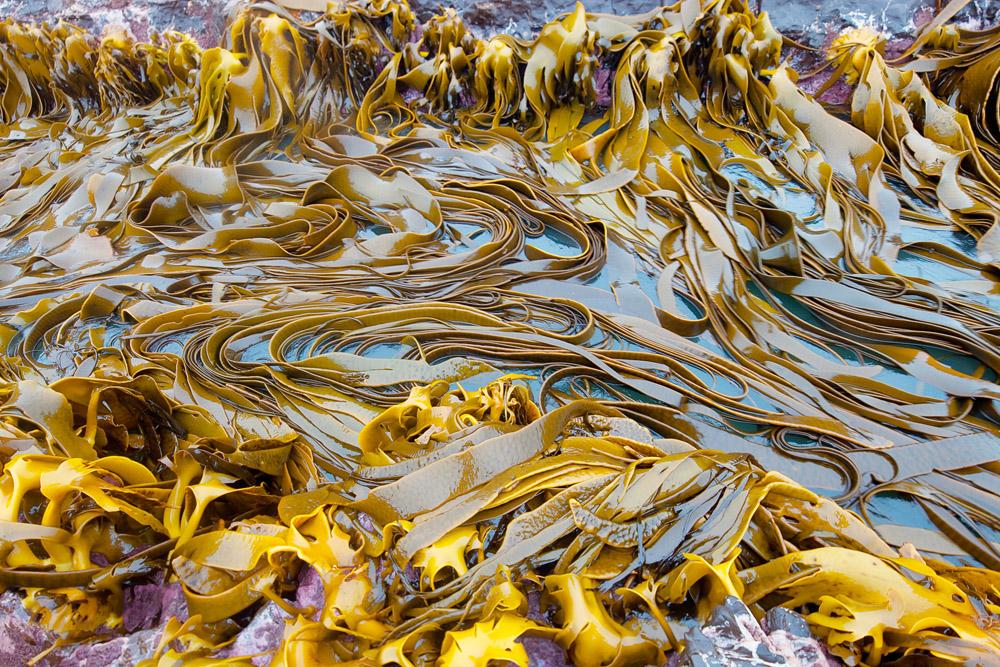 kelp bed 0600.jpg