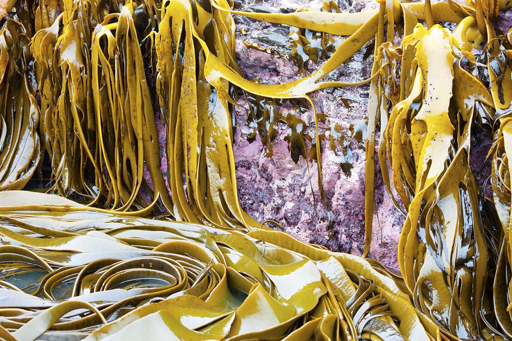 kelp hanging 0530.jpg