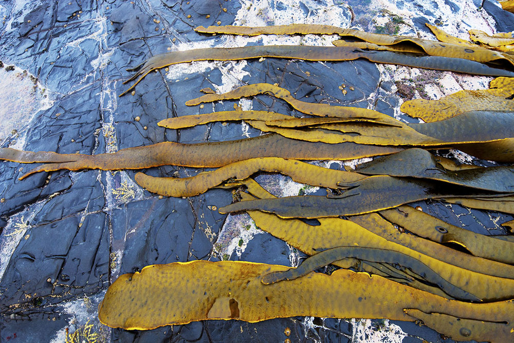 kelp strips on rocks 0602.jpg