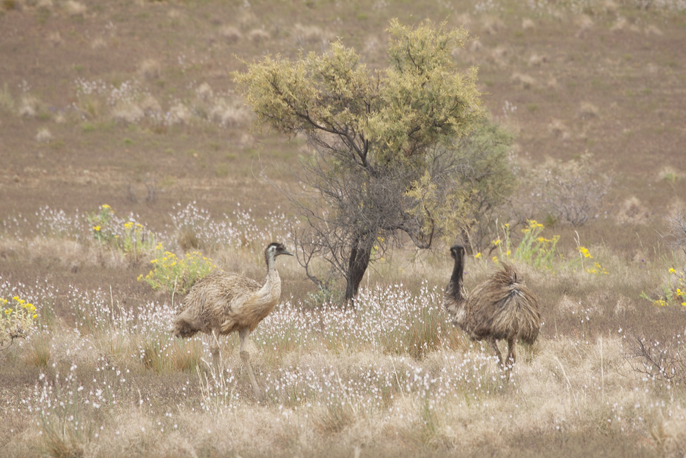 emus and tree 3034.jpg