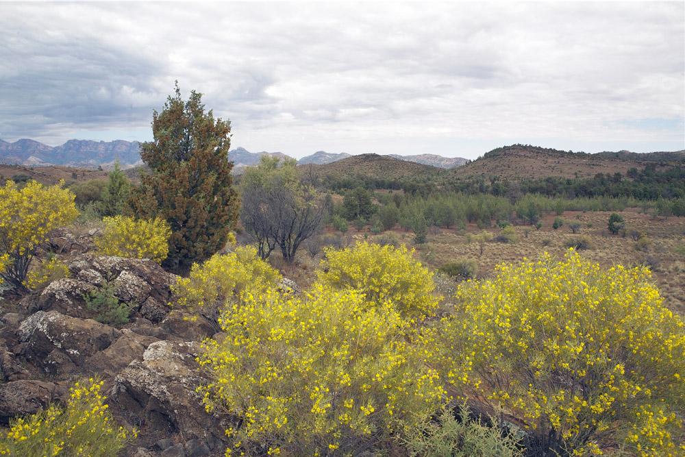 wattle bushes 2212.jpg