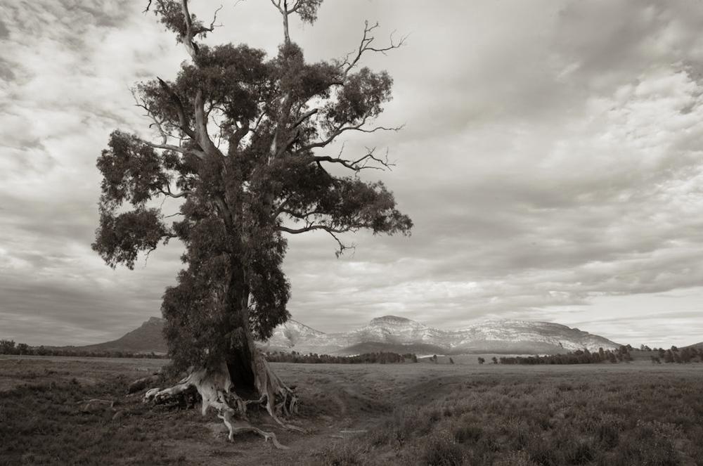 cazneux tree bw 2948.jpg