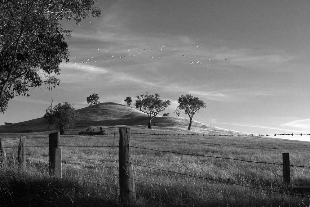 flock on hill b&w 9458.jpg
