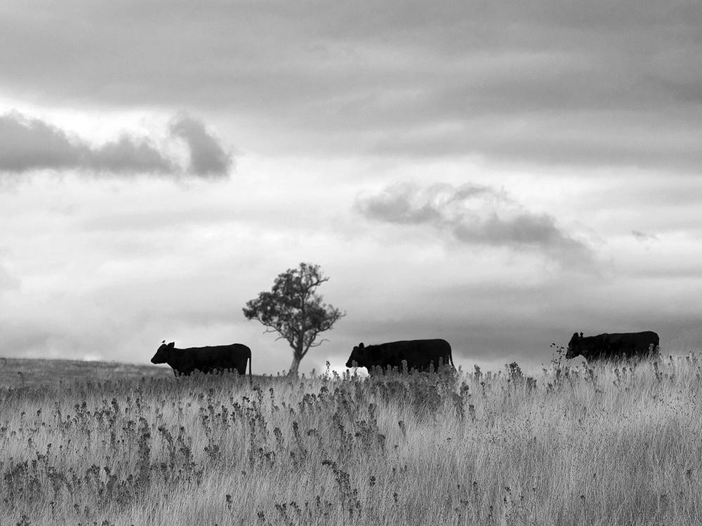 3 cows bw 90182.jpg
