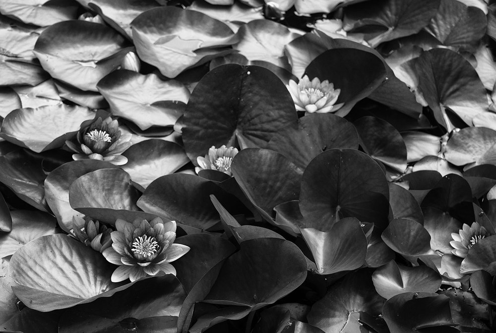 lotus pond bw 0366.jpg