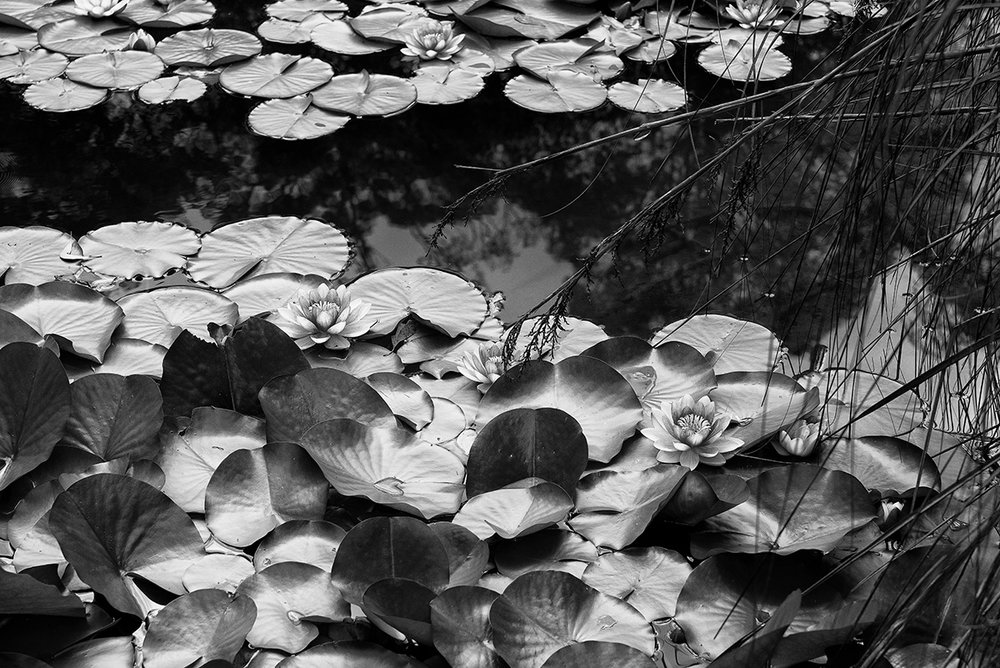 lotus pond bw 0368.jpg