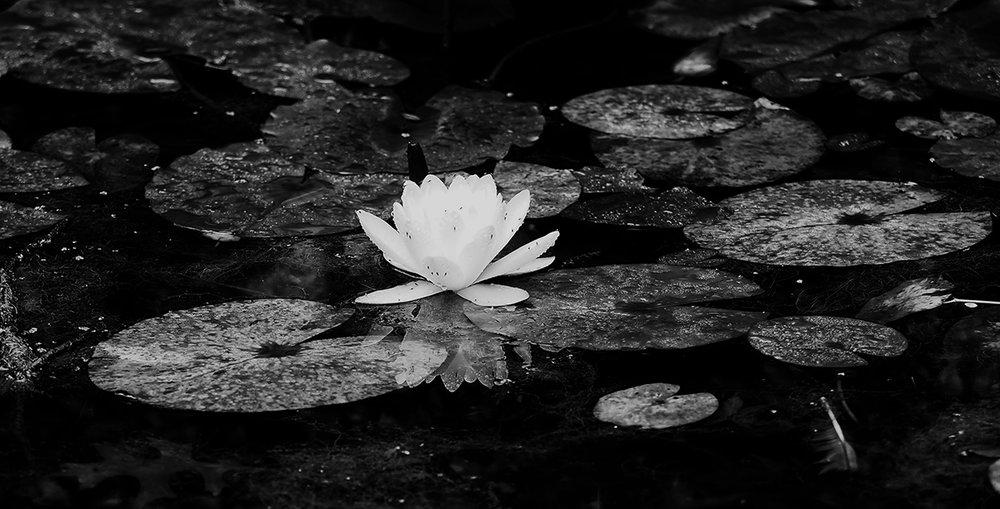 lily bw pano 250155.jpg
