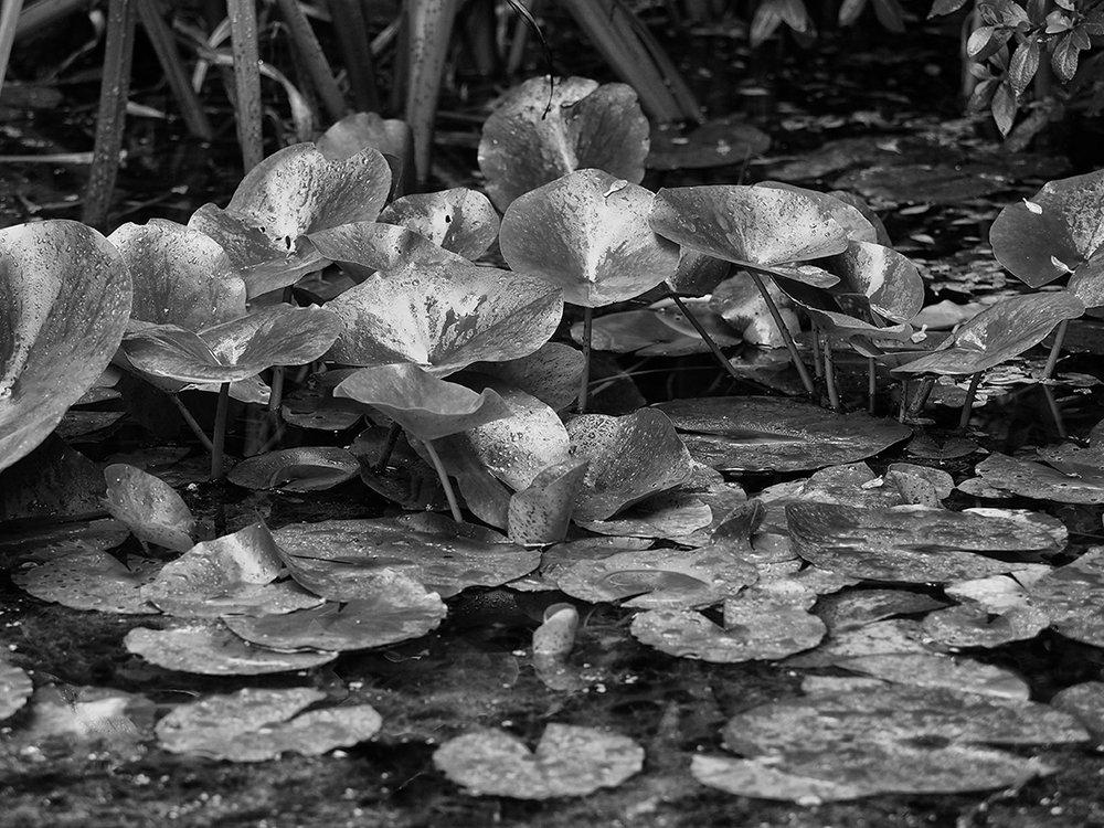 lily pads bw 250158.jpg