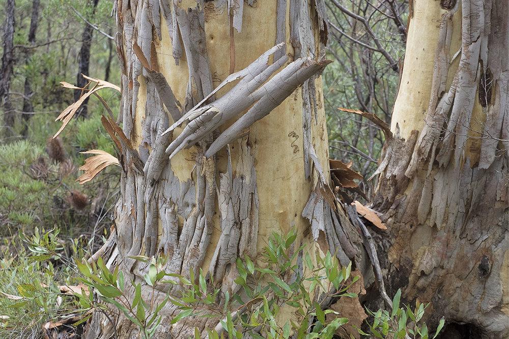 Peeling bark 1310189.jpg
