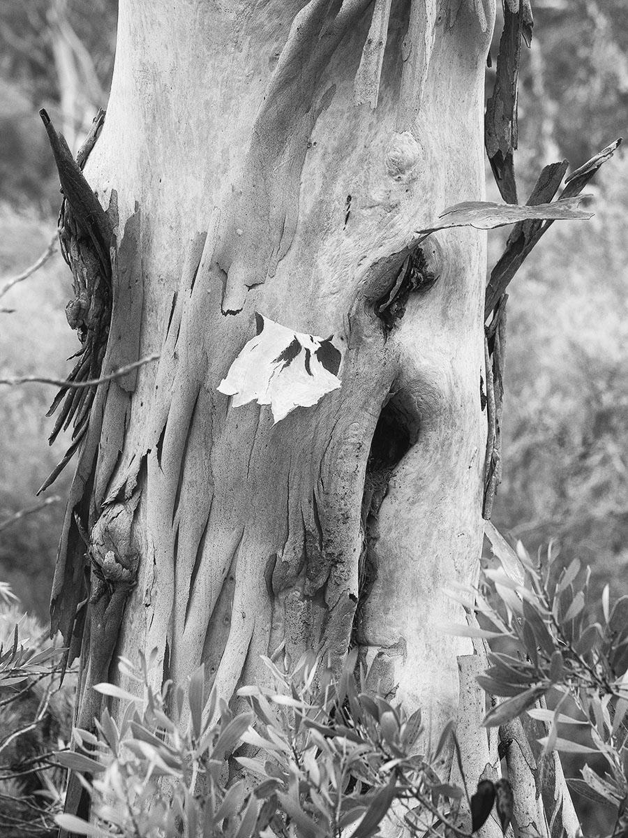 Peeling bark bw 1310211.jpg
