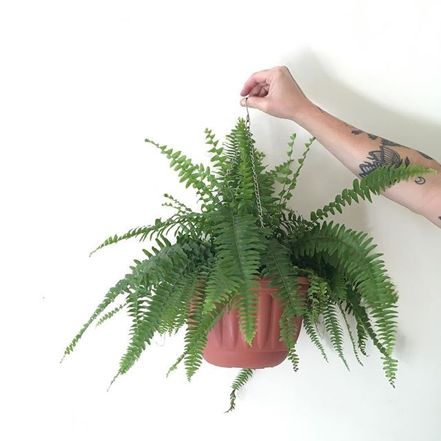 Hanging Boston Ferns - available at our amazing plant sale - 28th April  Thornbury - see Facebook page for full details . . . #plantsale #bostonfern #pileapeperomioides #plantsofinstagram #plantsmakepeoplehappy #thornbury #melbourne #petitegreen #tattoo #girlswithplants #inkedgirls