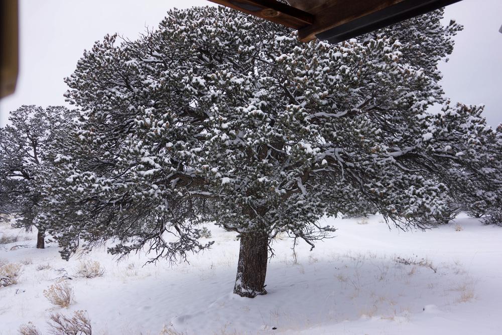 the juniper tree outside my west facing studio door