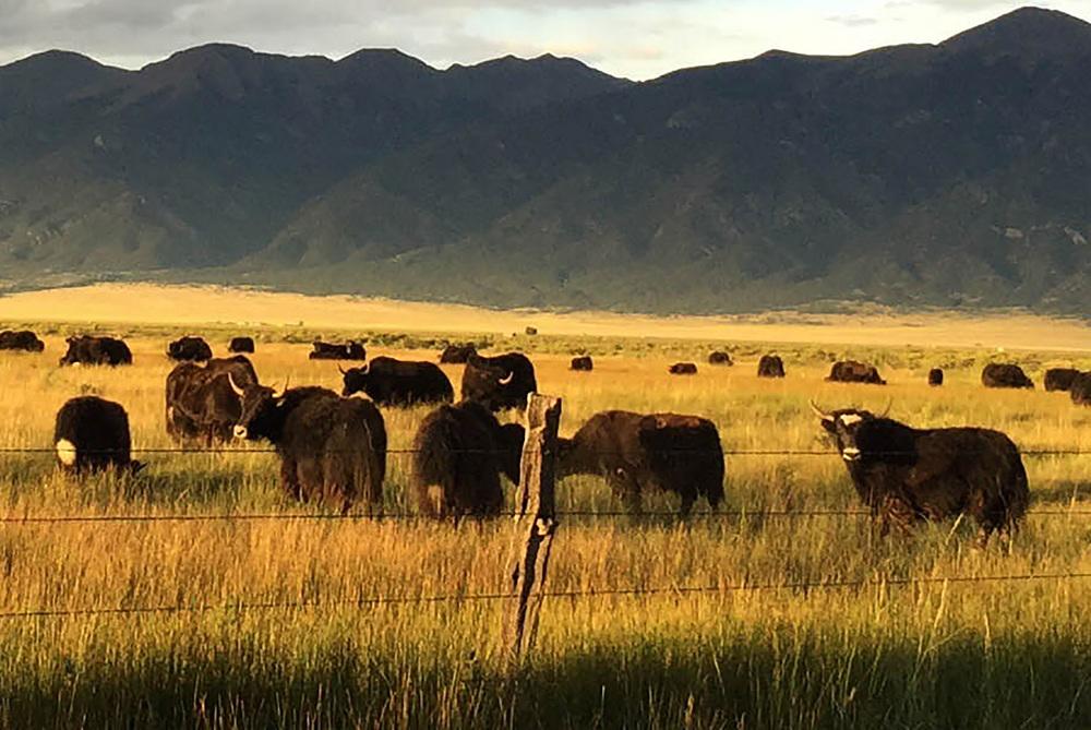 site-9-1-15 moffat yaks .jpg