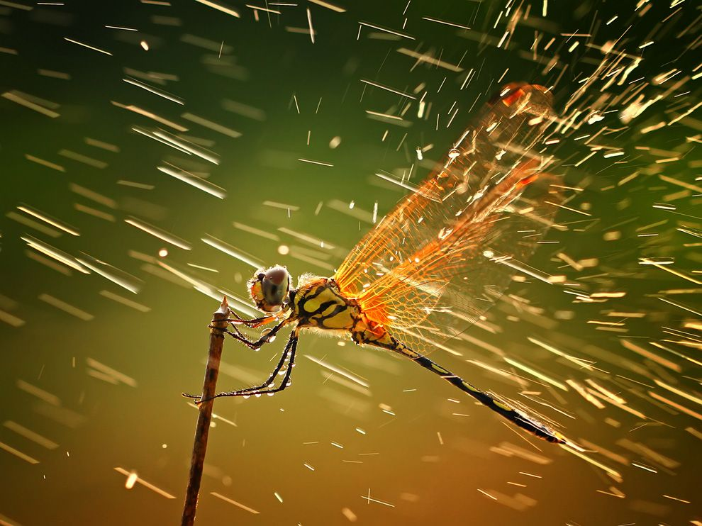 Dragonfly in the Rain   Photograph by Shikhei Goh,  nationalgeographic.com    Photo of the Day   This Month in Photo of the Day: 2011 Nation­al Geo­graph­ic Photo Con­test Images   This photo was taken when I was tak­ing pho­tos of other insects, as I nor­mal­ly did dur­ing macro photo hunt­ing. I wasn't actu­al­ly…     Gorgeous dragonfly!  http://flpbd.it/nPKi