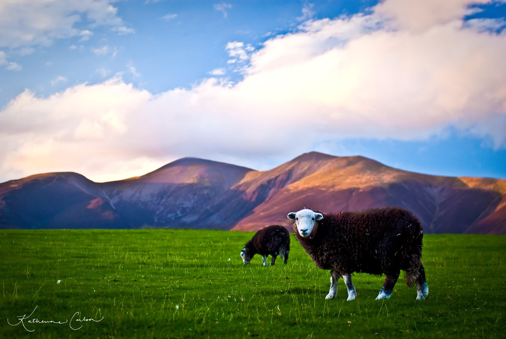 Cumbrian Sheep
