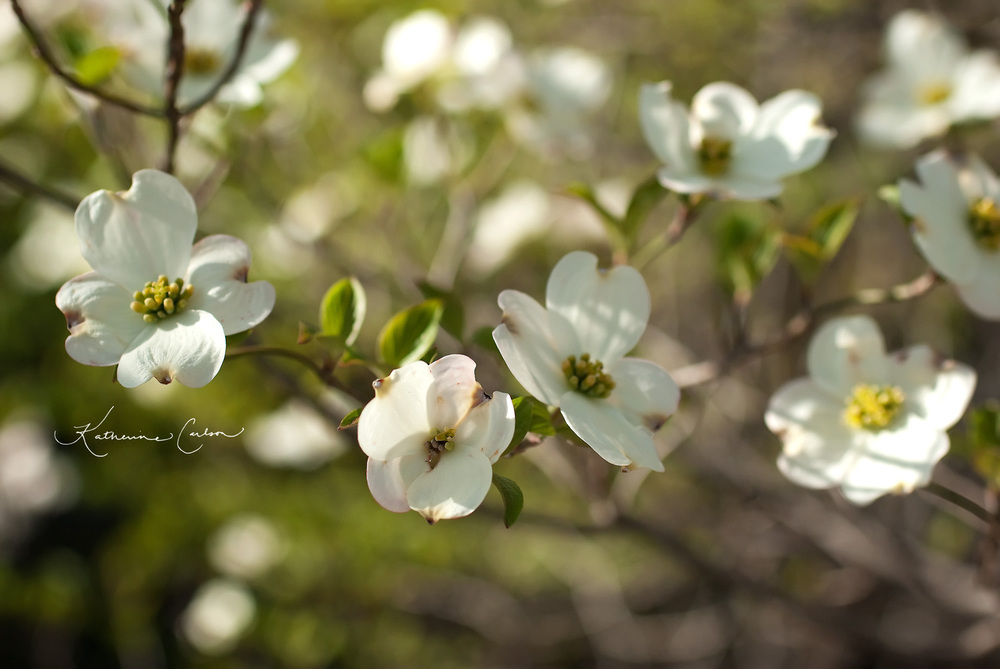 Carolina Dogwood