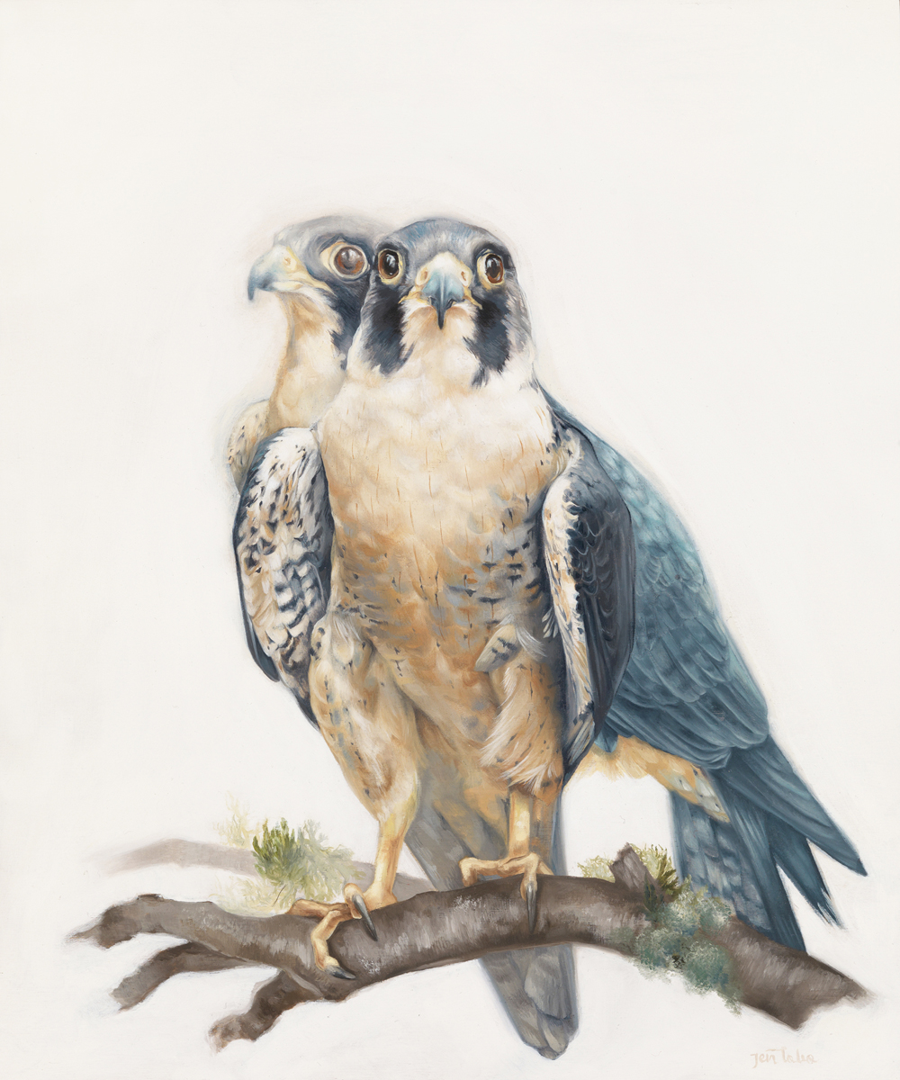'Peregrine Falcons'