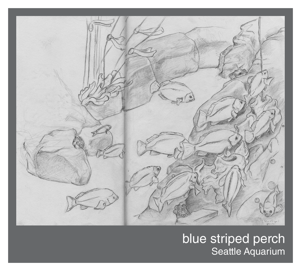 blue-striped-perch.png