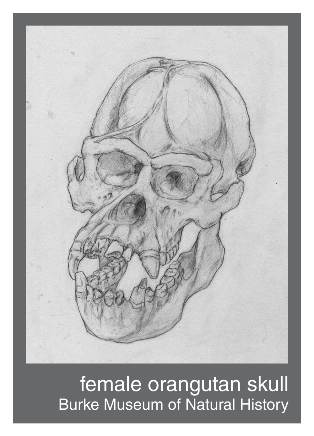orangutan_skull--150ppi.png