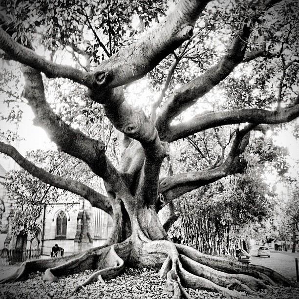 That Big Ol Tree (Taken with  Instagram  at Church Street Newtown)