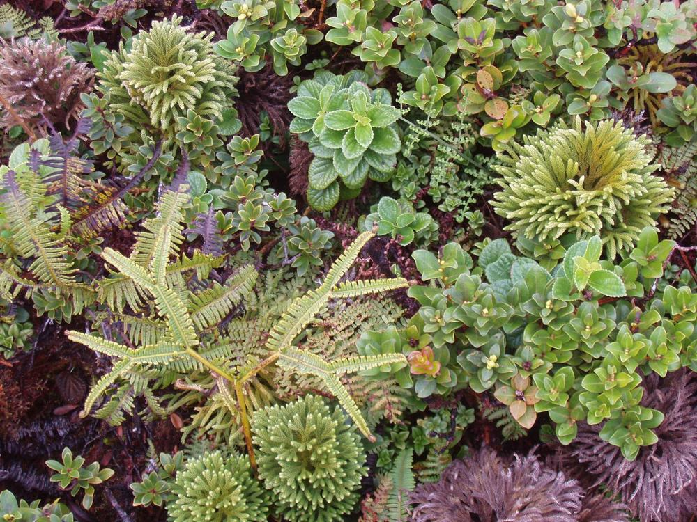 My photo of pu'u kukui bog species  click here to see more of my plant photos