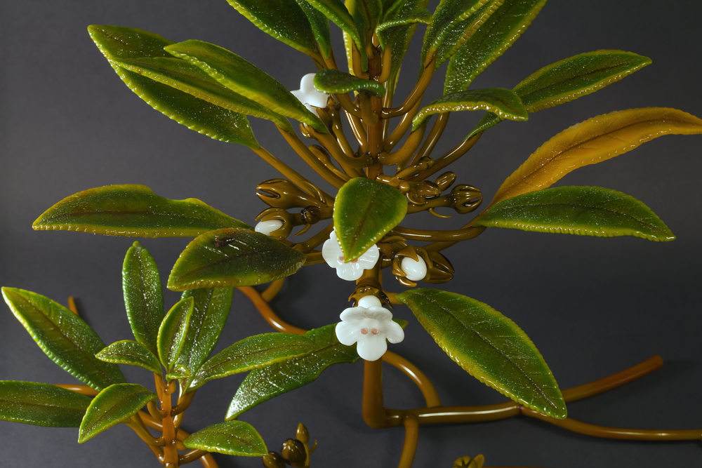 Cyrtandra grayana by Jupiter Nielsen (5).jpg