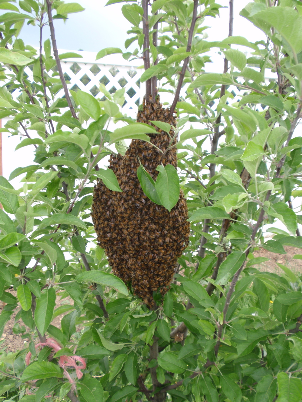 This is a typical swarm of honeybees.  They are extremely docile, please do not spray or disturb them - call a beekeeper for assistance.