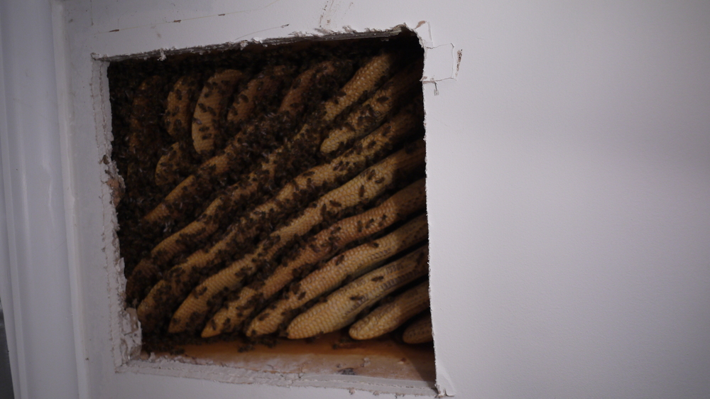 Here is a colony of honeybees that made their home in the ceiling of a house.  These honeybees are able to be safely removed without elimination!