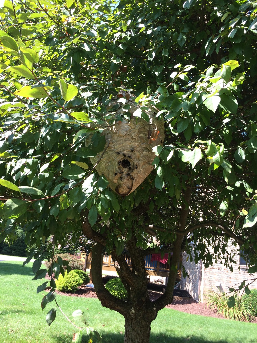 This is NOT a honey bee swarm - this is a hornets nest. Honey bees do NOT build a nest in the open.
