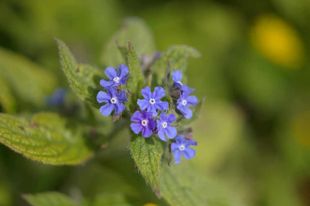 Green alkanet flowers