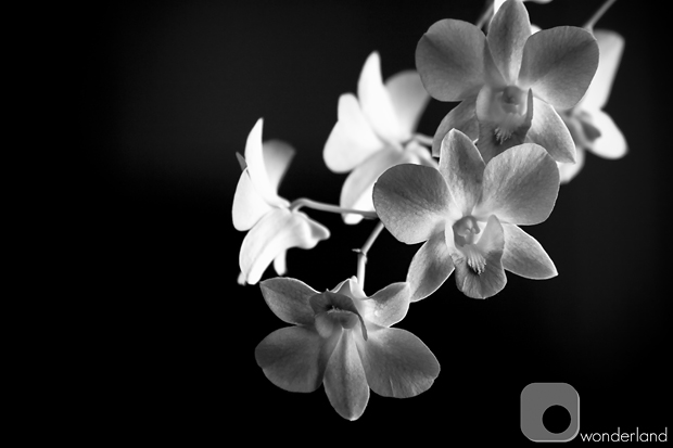 Orchid BW Base web.jpg