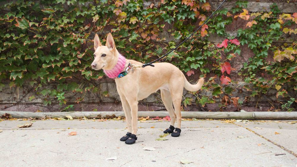 dog-boots-winter-arrfscarf.jpg