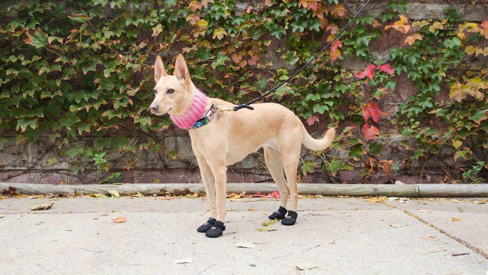 dog-boots-winter-arrfscarf.jpg