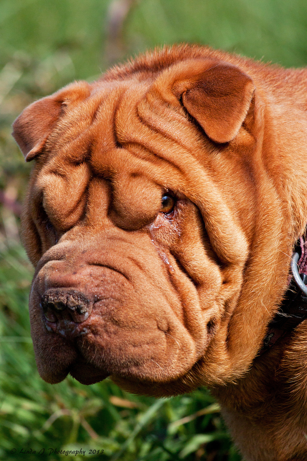 Mucinosis – Why Some Dogs Wrinkle — arrfscarf