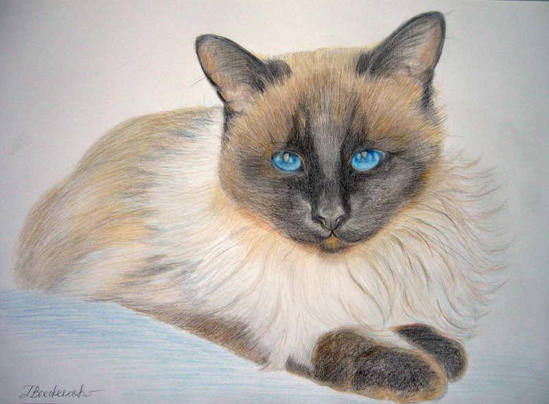 Katze_gezeichnet__vom__Foto__Buntstift_tiermalerei_Katzenportrait.jpg