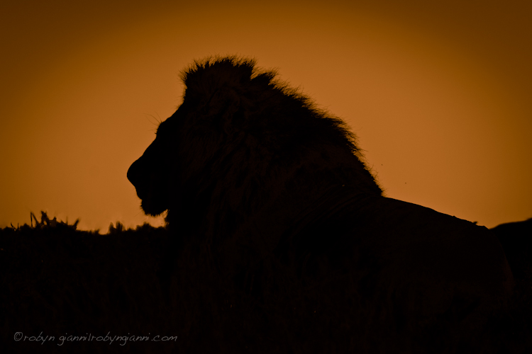 Lion Silhouette, South Africa