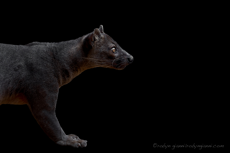 Fossa (Cryptoprocta ferox) Kirindy Forest, Madagascar. The Fossa is the largest mammalian carnivore on the island of Madagascar.
