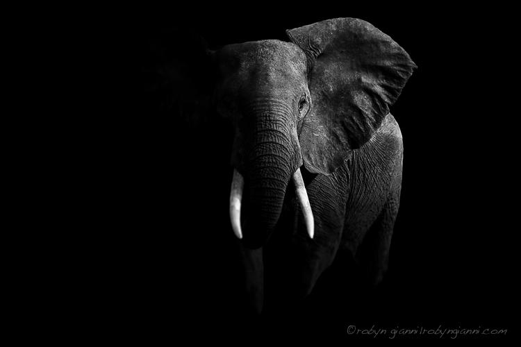 African Elephant, Zambia