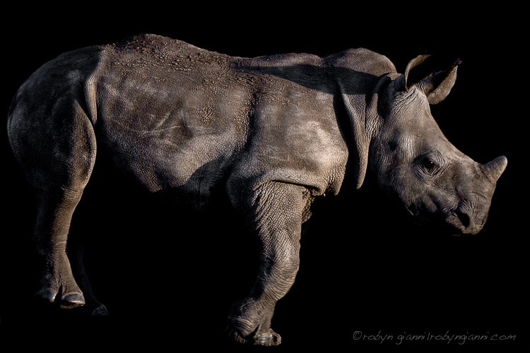 White rhinoceros or square-lipped rhinoceros (Ceratotherium simum), South Africa
