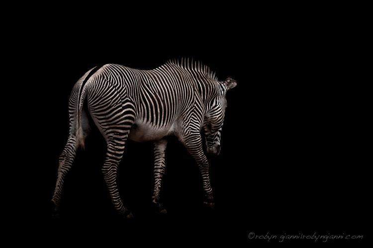 Grevy's Zebra (Equus grevyi), Samburu, East Africa