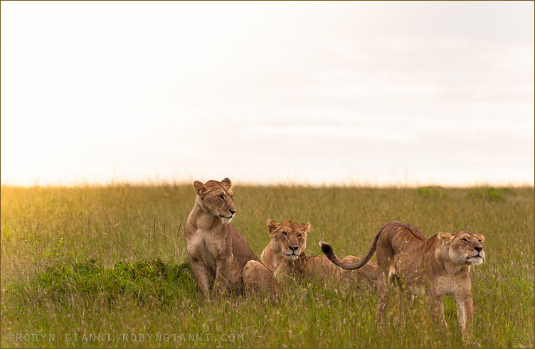 The Ridge Pride, Maasai Mara, Kenya