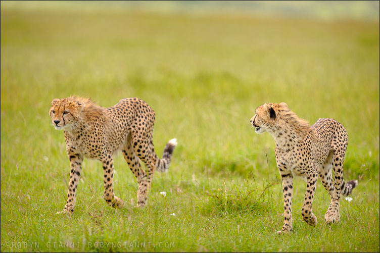Two young cheetahs, Maasai Mara, Kenya
