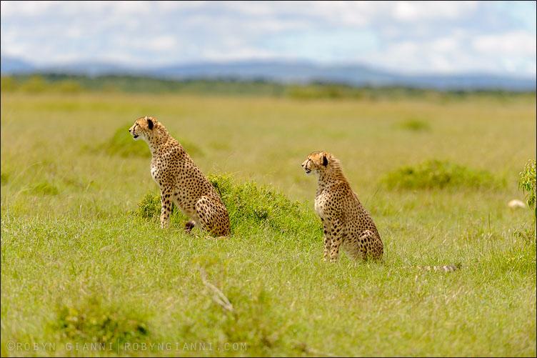 Two Cheetahs, Maasai Mara, Kenya