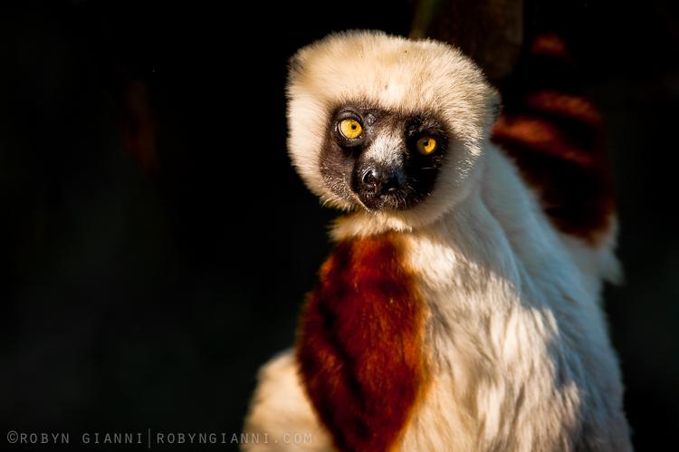 Coquerel's Sifaka lemur, Ampijoroa, Madagascar