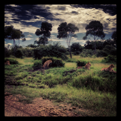 Oloololo pride cubs, Maasai Mara, Kenya