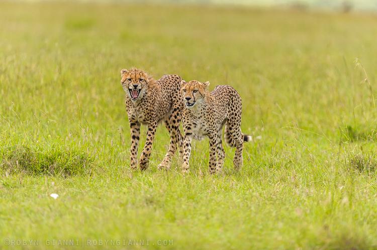 Young Cheetah's Maasai Mara, Kenya
