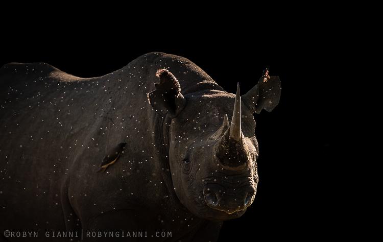 Black Rhino, Maasai Mara, Kenya