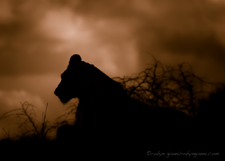 Lioness, Silhouette, From My Notebook, South Africa